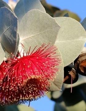 Eucalyptus leaves, Image by Bec Bartell, Pixabay